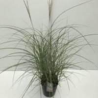 """Plantenwinkel.nl Prachtriet (Miscanthus sinensis """"Red Chief"""") siergras - In 5 liter pot - 1 stuks"""