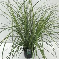 """Plantenwinkel.nl Prachtriet (Miscanthus sinensis """"Strictus"""") siergras - In 5 liter pot - 1 stuks"""