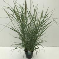 "Plantenwinkel.nl Vingergras (Panicum virgatum ""Prairie Sky"") siergras - In 5 liter pot - 1 stuks"