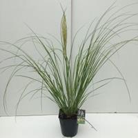 "Plantenwinkel.nl Dwergpampasgras (Cortaderia selloana ""Mini Pampas"") siergras - In 5 liter pot - 1 stuks"