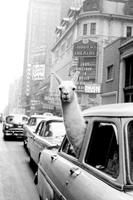 Expo XL A Llama In Times Square - Maxi Poster (677)