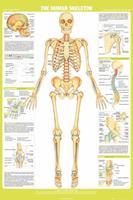 Expo XL Chartex Skelet - Maxi Poster (654)