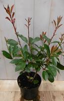 Warentuin Photinia fraseri Red Robin rood 40 cm