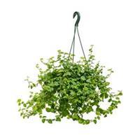 plantenwinkel.nl Ficus repens green sunny hangplant