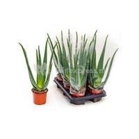 plantenwinkel.nl Aloe vera barbadensis XS kamerplant