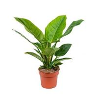 plantenwinkel.nl Philodendron imperial green S kamerplant