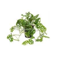 plantenwinkel.nl Monstera obliqua XS gatenplant kamerplant