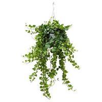 plantenwinkel.nl Hedera helix wonder XS hangplant