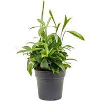 plantenwinkel.nl Dracaena surculosa M2 kamerplant