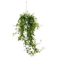plantenwinkel.nl Hedera helix pittsburgh S hangplant