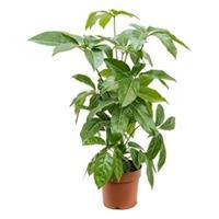 plantenwinkel.nl Schefflera amate XS kamerplant