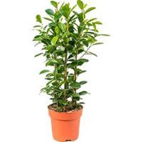 plantenwinkel.nl Ficus moclame M kamerplant