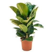 plantenwinkel.nl Ficus robusta M kamerplant