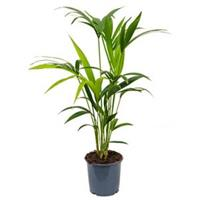 plantenwinkel.nl Kentia Palm howea forsteriana 4pp kamerplant