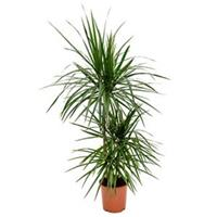 plantenwinkel.nl Dracaena marginata S kamerplant