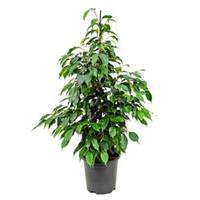 plantenwinkel.nl Ficus danielle S2 kamerplant