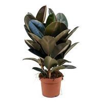 plantenwinkel.nl Ficus elastica abidjan S kamerplant