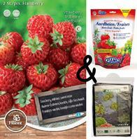 Bloembollenkopen Teeltpakket Aardbei Framberry (1 stuks)