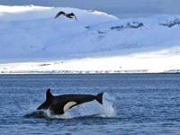 Orkas & walvissen excursie vanuit Olafsvik & Grundarfjörður