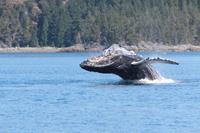 Whale Watch Plus vanuit Tofino
