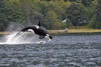 Whale Watching & Wildlife Tours vanuit Campbell River