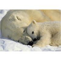 Praxis Fotobehang Polar bears