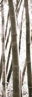 PGM Douglas Yan - Bamboo Grove IV Kunstdruk 30x91cm