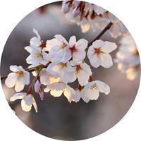 Wizard+Genius Cherry Blossoms Vlies Fotobehang 140x140cm rond