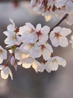 Wizard+Genius Cherry Blossoms Vlies Fotobehang 192x260cm 4-banen