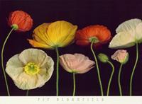 PGM Pip Bloomfield - Poppy Garden I Kunstdruk 91x66cm