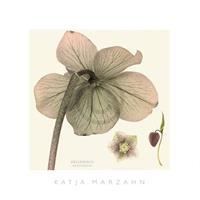 PGM Kate Mawdsley - Hellebore II Kunstdruk 51x51cm