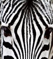 Dimex Zebra Vlies Fotobehang 225x250cm 3-banen