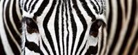 Dimex Zebra Vlies Fotobehang 375x150cm 5-banen
